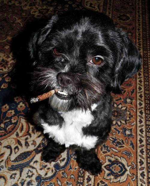 Oscar up in Smoke, New York. Photo Simon LohmeyerNice Smoke, Gangsta Dogs, Smoking, Smoke Stunts, Models Simon, Legs Dogs, Simon Lohmey, Photos Simon, Cigars Dogs