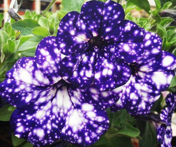 Galaxy Night Sky Flowers Night Sky Petunia Petunia Flower