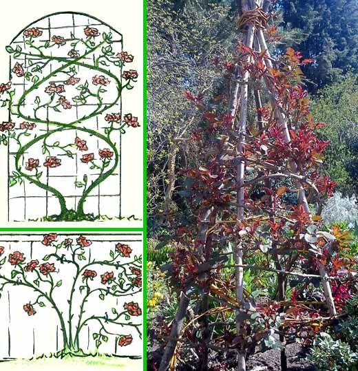 Для того, чтобы стимулировать розу выпустить больше боковых цветоносных побегов, надо закрепить стебель розы на опоре в горизонтальном или близком к углу в 45 градусов положении.