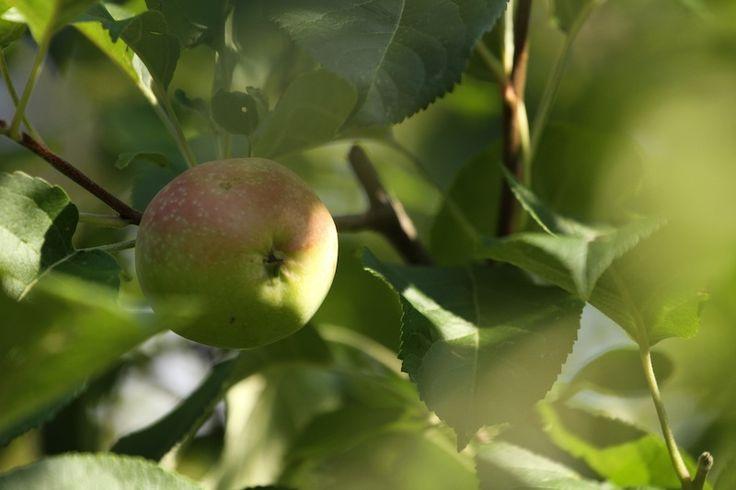 Oodi omenaviinietikalle: Omenaviinietikka kuuluu keittiöni ja kylpyhuoneeni vakiovarustukseen. Käytän sitä iholle, hiuksiin, ruuanlaitossa ja puhdistusaineena. Käyttötarkoituksia tälle vanhan kansan tuntemalle rohdolle on lukuisia.