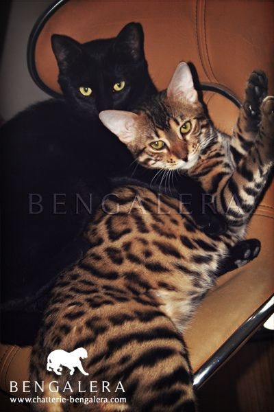 Black Cat & Bengal Cat ~ So pretty together♥
