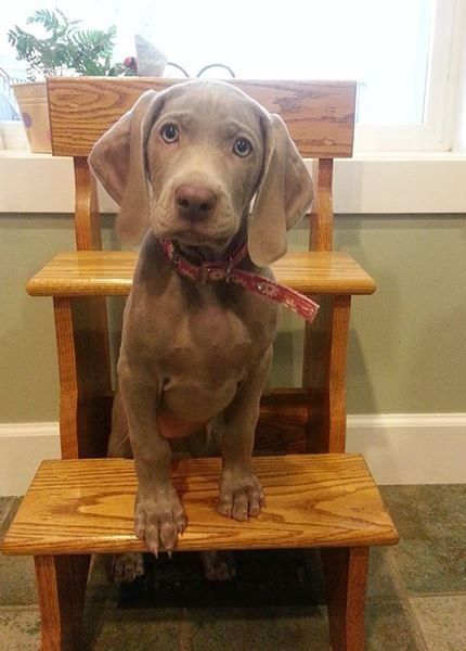 Weimaraner Pup - For our first lesson of the day...