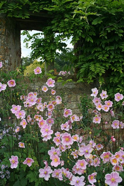 Pink anemone. Broughton Castle Gardens by Mijkra, via Flickr. Oxfordshire, England