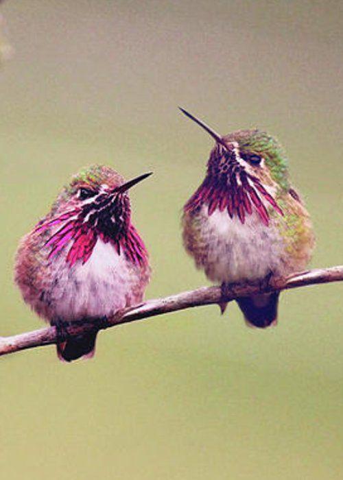 Mejores 1097 imágenes de colibri bird en Pinterest | Aves exóticas ...