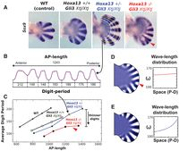 Hox Genes Regulate Digit Patterning by Controlling the Wavelength of a Turing-Type Mechanism