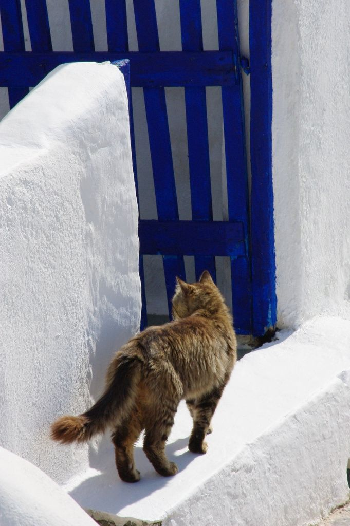 Santorini Cat & the colours of aegean blue and white!