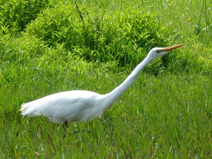 White heron.