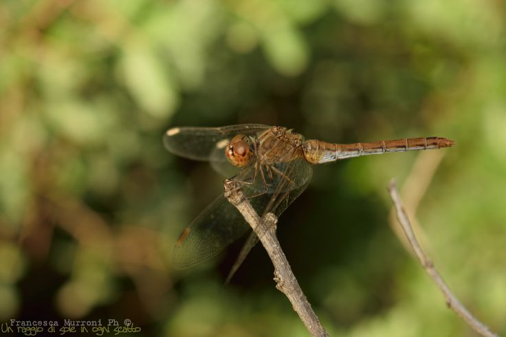 Dragonfly by Francesca Murroni Ph on 500px