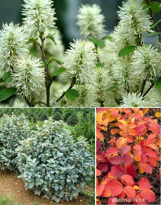 C Blue Mist Fothergilla (Fotherqilla gardenii 'Blue Mist') (1) Zones 5-8. Honey-scented white blooms, bluish foliage. 4' tall