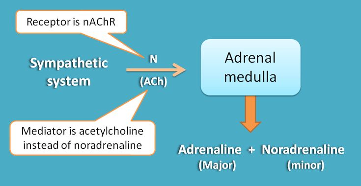 Only sympathetic innervation at adrenal medulla