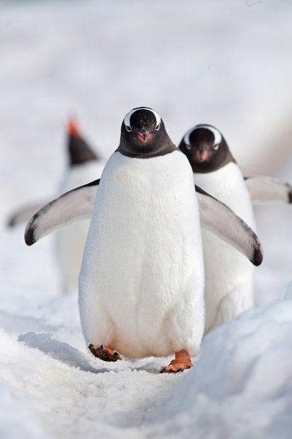 I love the way they walk. Gentoo penguins #Antarctic Peninsula in #Antarctica #ExpediaThePlanetD