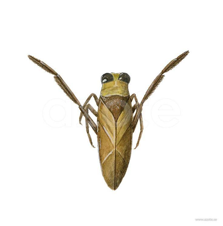 Ryggsimmare (Notonecta glauca) | Illustratör:  Camilla Bollner/Azote