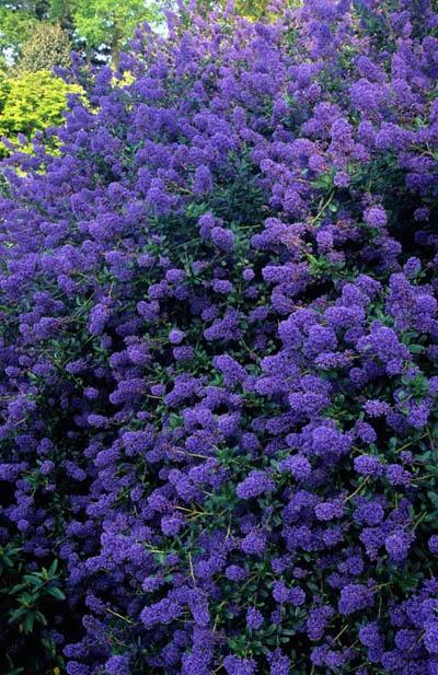 California lilac ceanothus 39 tilden park 39 flowering for Purple flower shrub california