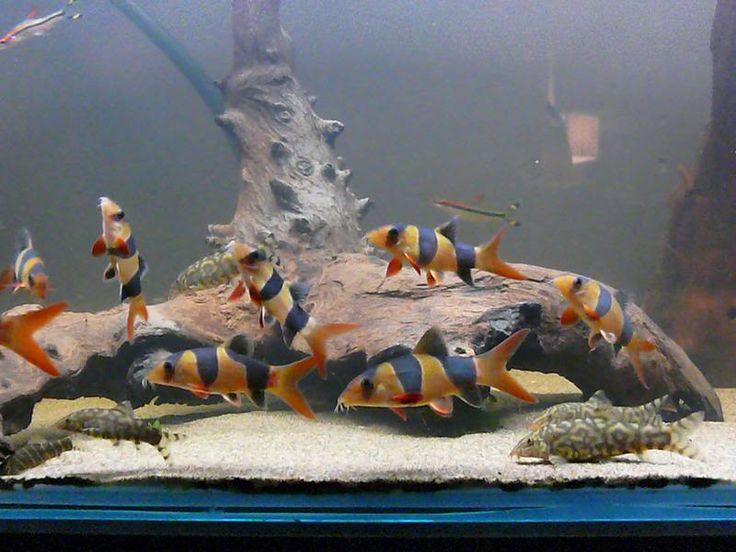 Clown loach tank google search clown loaches for Freshwater clown fish