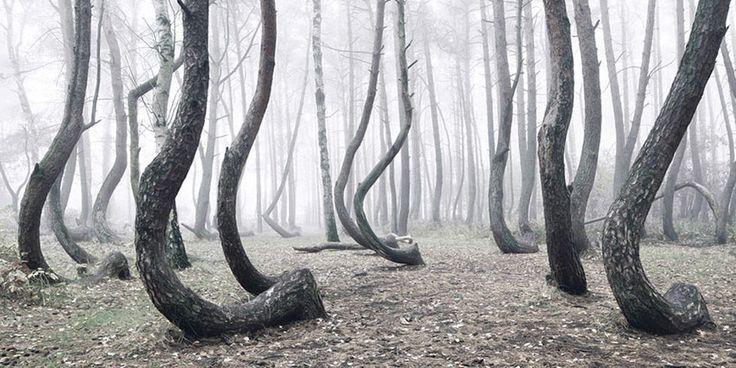 Ten, kdo pátrá po zajímavých místech by měl křivý les na svůj seznam rozhodně zařadit. Nachází se na západě Polska ve vesnici Nowe Czarnowo.