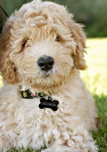 George the Australian Labradoodle -- Puppy Breed: Labrador Retriever / Poodle