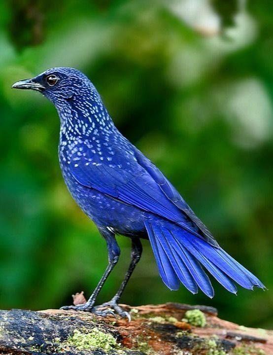 Blue Whistling Thrush. Southeast Asia