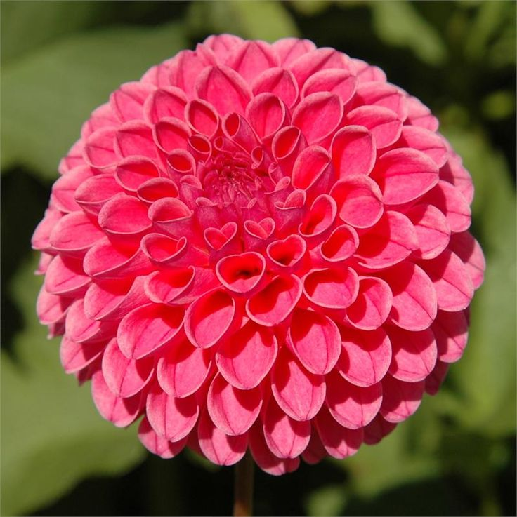 """Dahlia 'Rebecca Lynn' - Dainty pom-pom blooms measure 2-3"""" and are a welcome addition to any flower arrangement. Height 3'."""