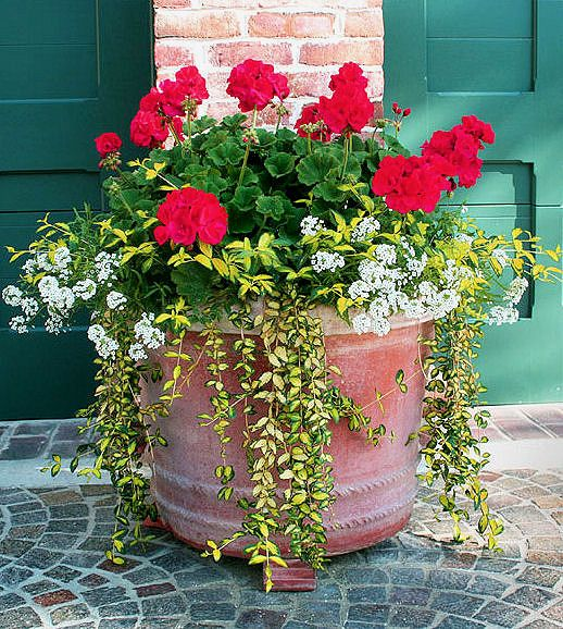 Mother S Day Container Garden Ideas: Best 25+ Red Geraniums Ideas On Pinterest