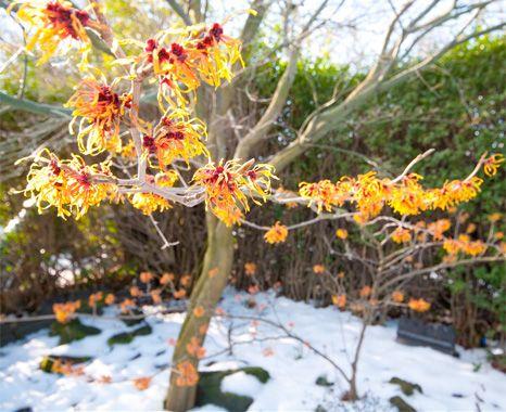 9 Winter Garden Plants That Dazzle (Even When It Snows): Flowering Quince  (Chaenomeles)