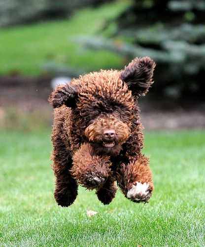 Portuguese Water Dog- if this one is anything like ours he was probably chasing a kid in the yard!