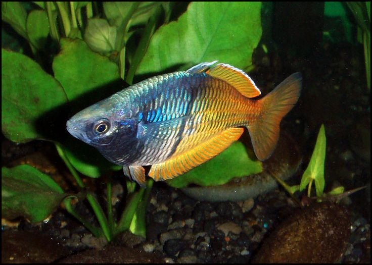Best 20 Australian Rainbow Fish Ideas On Pinterest News