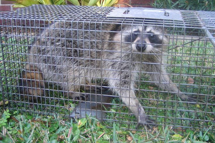 Raccoon Trapping - How to Catch a Raccoon in a Trap ...