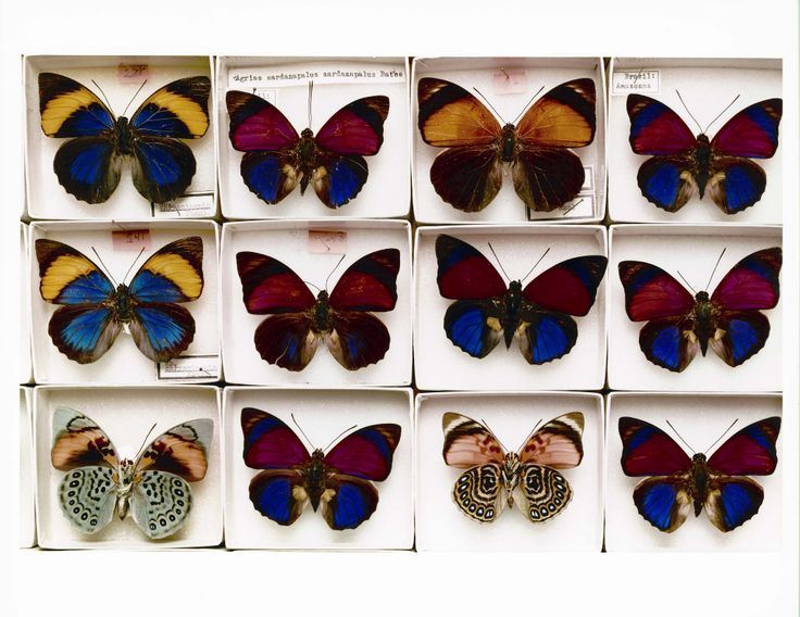 Butterflies from the Museum's collection