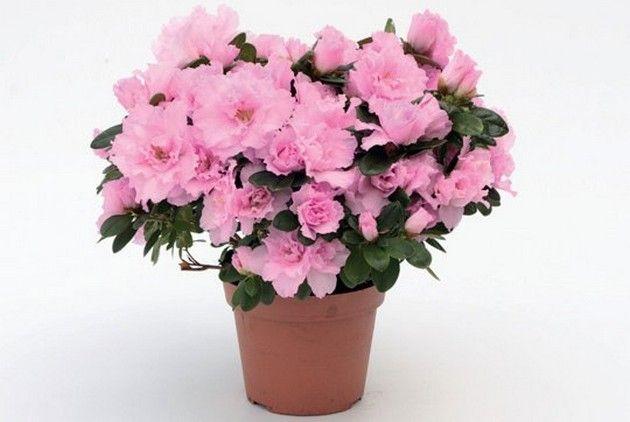 Уход за азалией   Азалия – очень привередливый капризный цветок. Но при цветении – настоящая красотка. Теплые регионы растят ее в виде садового растения. Холодные же регионы наоборот – одомашнивают е…