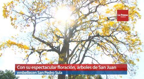 Con su espectacular floración, árboles de San Juan embellecen San Pedro Sula