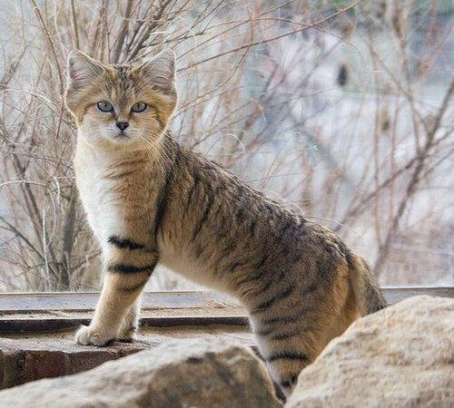 #SAND CAT - Animal Facts