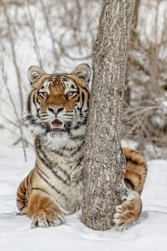 Best 25+ Siberian tiger ideas on Pinterest | Tigers, Wild ... Cute Siberian Tiger Shirt