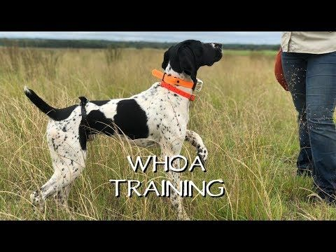 Here Is A Teach Your Dog Whoa Lesson By Standing Stone Kennels