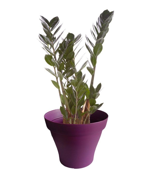 petit zamioculcas avec cache pot violet plantes d. Black Bedroom Furniture Sets. Home Design Ideas
