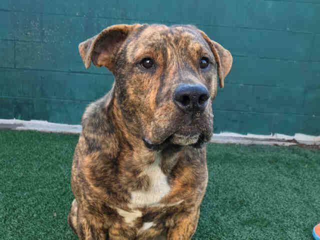 American Pit Bull Terrier dog for Adoption in Stockton, CA. ADN-754531 on PuppyFinder.com Gender: Male. Age: Young #PitBull