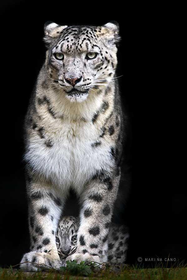 Snow Leopard - Protecting Cub - Big Cats - Wild | Marina Cano