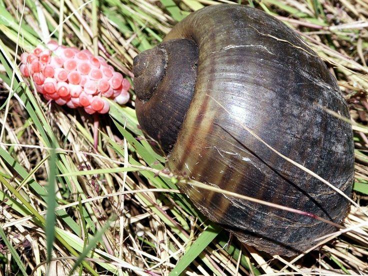 Apple Snail - (Pomacea Canaliculata)