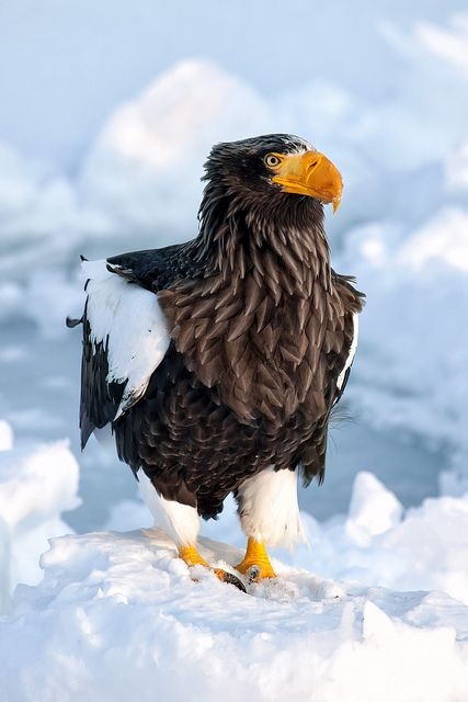 A stellar's sea eagle perched on a mound of snow in the harbor town of Rausu on the Shiretoko Peninsula in Hokkaido, Japan.  by pics721