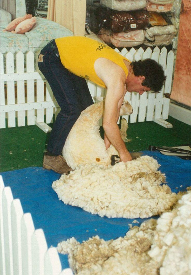 A shearing demonstration in one of MiniJumbuk's major retailers. #LOVEWOOL #MiniJumbuk #shearing #Wool #40Years