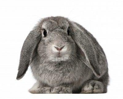 """French Lop Rabbit  Recognized colors: Many. Shown in broken and solid pattern classifications. Size: Minimum of 11 pounds for bucks and 11.5 pounds for does... If you'd like to get """"more bunny for your money,"""" there's not much better choice than the French Lop.  If this breed can be described in one word, it's """"cuddly.""""  This is the only lop-eared beed that is placed in the """"giant"""" size category, and Frenchies are gentle giants"""
