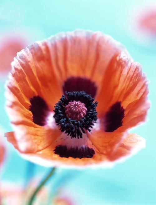 Julia HoerschGardens Beautiful, Rare Perfume, Hoersch Flower, Green Design, Tangerine Flower, Fav Flower, Julia Hoersch, Orange Poppies, House Wa