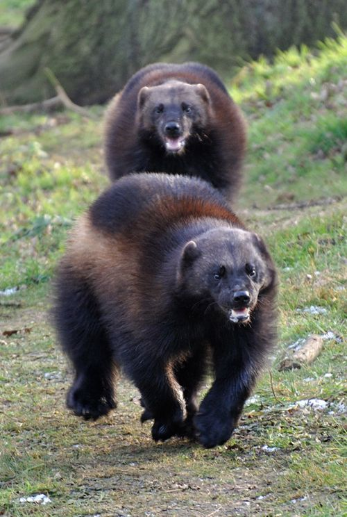 "Wolverines........Bad asses of the woods, they will drive wolves off of their prey, even full grown bears! The word ""pugnaceous"" was coined just for them. Michigan is named ""The Wolverine State"" though I think there are no more wolverines left in MI."