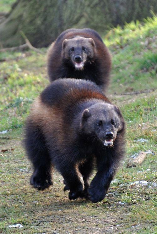 Wolverines, un glotón, es un mamífero carnívoro fornido y musculoso que se asemeja a un pequeño oso.