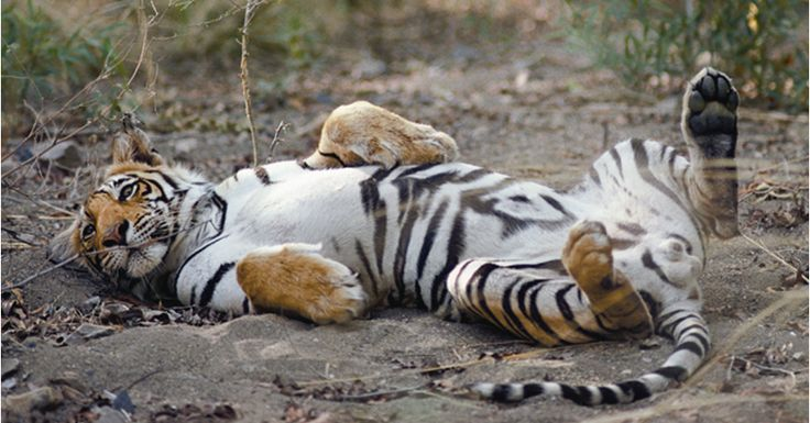 Tigers in their natural habitat in India. Amazing!  #HiTours #MICE #Travelmediate #India