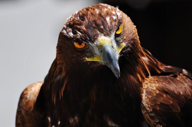 Golden Eagle - null