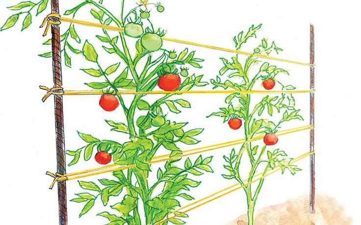 The Most Reliable Tomato Cages Trellises http://www.rodalesorganiclife.com/garden/the-most-reliable-tomato-cages-trellises/bamboo-trellis
