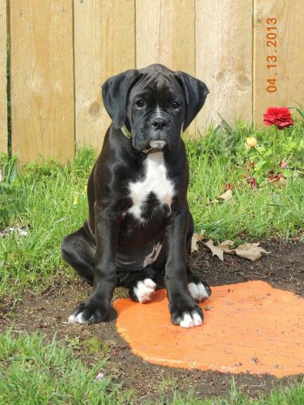 17 best images about boxers on pinterest new toys for Brindle boxer