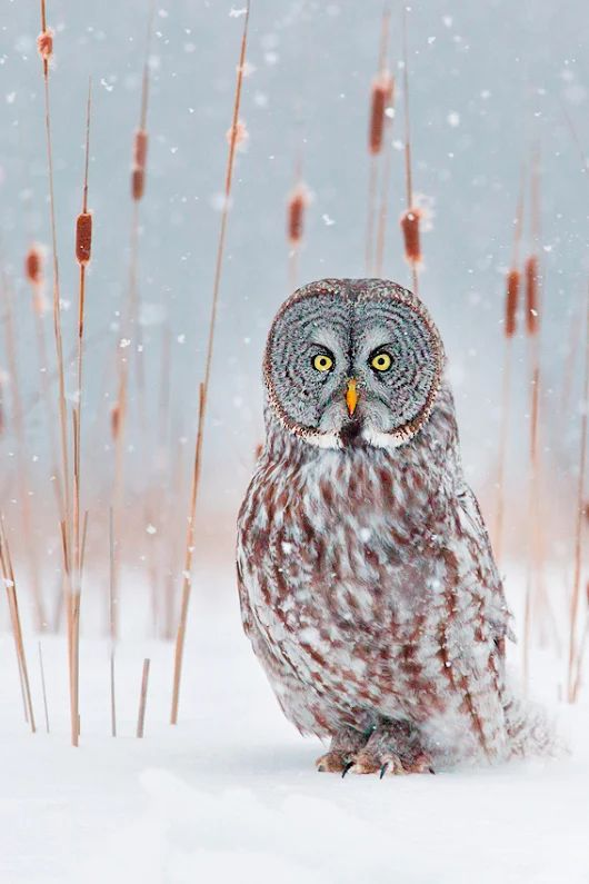 Winter time - Cat-tails and Great Grey Owl.