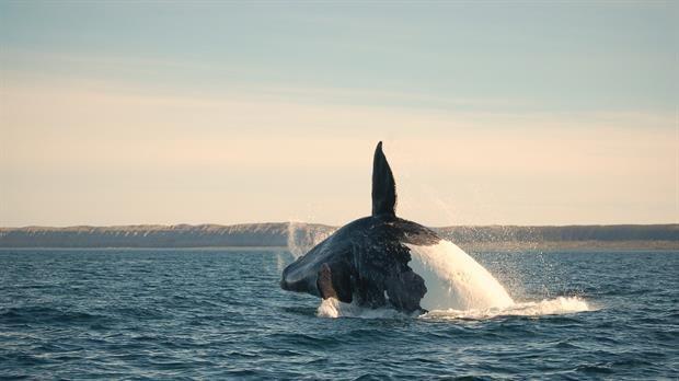 Puerto Pirámides, a cien kilómetros de la ciudad de Puerto Madryn, recibe al año más de cien mil turistas con un mismo deseo: ver de cerca a uno de los mamíferos más grandes del mundo, la ballena Franca Austral