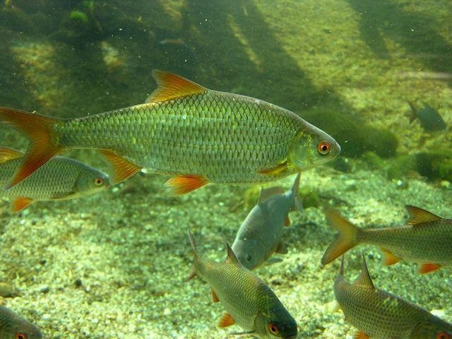 Kan man bruge skaller til et Akvaponik system, Ja da det er faktisk en af de bedste fisk at bruge hvis det mest er planter men går op i da Skallen ikke er den bedste spisefick